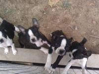 I WILL HAVE PUPPIES FOR SALE THE LAST OF OCTOBER OR