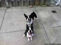 (2) 8 month old Boston terrier male puppies (brothers)