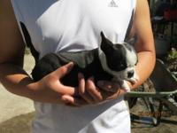 Boston Terrier pups AKC Champion pedigree 2 females