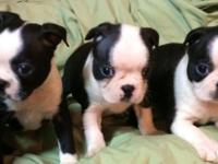 I have a lovely clutter of Boston Terrier puppies. The