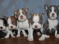 Colorful Litter of Boston Terrier Puppies Parents are