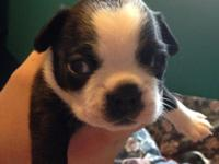 These Boston Terrier young puppies were born June 2nd