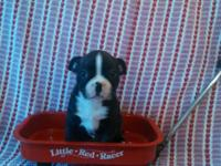 Definitely Adorable! Purebred Boston Terrier Puppies.