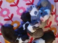 Charlie has had a beautiful litter of seven puppies!!!