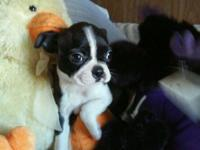 Boston Terrier puppies, both male and female. Black and