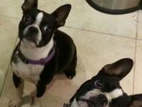 Boston Terrier puppies, both male and female available.