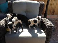 6 boston terrier puppies 2 females 4 males ready to go