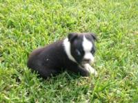 CKC Boston Terriers 3 males ready July 3. Will have
