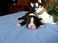 Adorable Boston terrier puppies. Family raised and