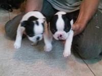 Nicely bred Boston pups for sale. AKC registered.1st