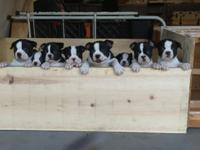 8 week old Boston Terrier puppies born July 6th, they