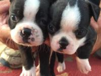 Full blooded Boston Terrier puppies 1 male and 1 female