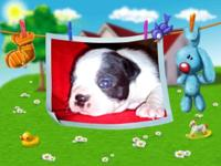 AKC BOSTON TERRIER PUPPIES. We have 12 Boston Terrier