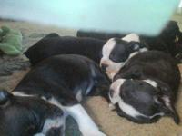 Purebred Male and Female Boston Terrier puppies. 10
