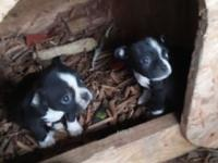 I have a new litter of AKC registered Boston Terriers.