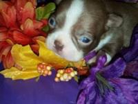 3 CKC red male Boston Terrier puppies will be ready for