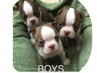 Beautiful Boston Terrier pups born 03/14/17. Males and