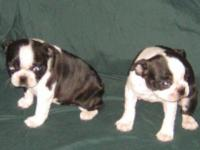 Pls text at  ( Male and female puppies available.
