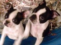 2 Absolutely ADORABLE Black & White female Boston