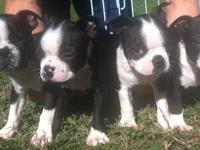 5 female Boston Terrier puppies. Puppies were born on
