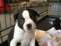 3 female 5 males Boston Terrier puppies no papers born