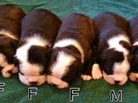 ACA registered Boston Terrier puppies for sale. Asking