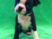 4 male and 1 female ACA Boston Terrier puppies $400