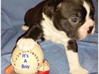 AKC BOSTON TERRIER 8 puppies born on 8/17/15 4 puppies