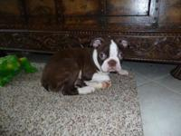 We have Boston Terrier Puppies available. We have Males