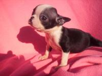 AKC BOSTON TERRIER PUPPIES AND YOUNG ADULTS. PUPPIES
