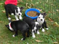 Boston Terrier puppies, 3 females, 1 male, 8 weeks,