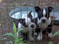 Boston Terrier Puppies Are Here July 25, 2014 (just 2