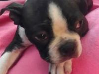Last Boston Terrier Puppy shes 16 weeks ...a female