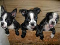 3 FEMALE BOSTON TERRIER PUPPIES BLACK AND WHITE, 1ST