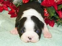 Gorgeous Boston Terrier puppy, AKC Registered (full