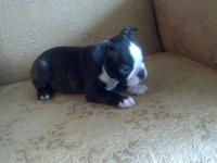 Beautiful Boston Terrier puppies ready to go to their