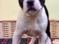 Beautiful Black and White Boston Terrier! She was born