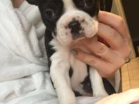 Beautiful puppy females breed Boston Terrier for sale