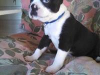 Traditional black and white male adorable Boston