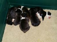 Boston Terrier puppies one male and one female
