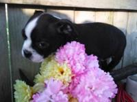 Brandy is 9 wks old has first shots and wormed she also