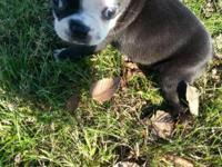Adorable puppy!!!! I have a beautiful male Boston