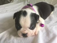 This sweet little girl CKC registered female puppy will