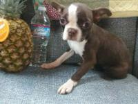 MICRO Ree is a super sweet 5 pound red Boston Terrier!