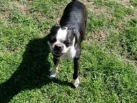 Boston Terrier looking for a new pet home. He is 4