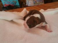 these are red and white Boston Terriers-AKC reg.born