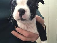 These Boston terrier Puppies are the cutest! 2 girls