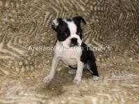 We have a Beautiful Black and White Female. AKC
