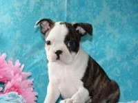 Ashton is a friendly Boston Terrier puppy with gorgeous