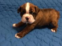 Pet only.This Little Guy is AKC Reg. He is Brindle and